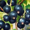 Fresh blackberreis in the garden